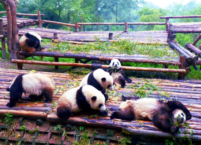 Picture of pandas eating bamboo at Chengdu's Panda Research Base