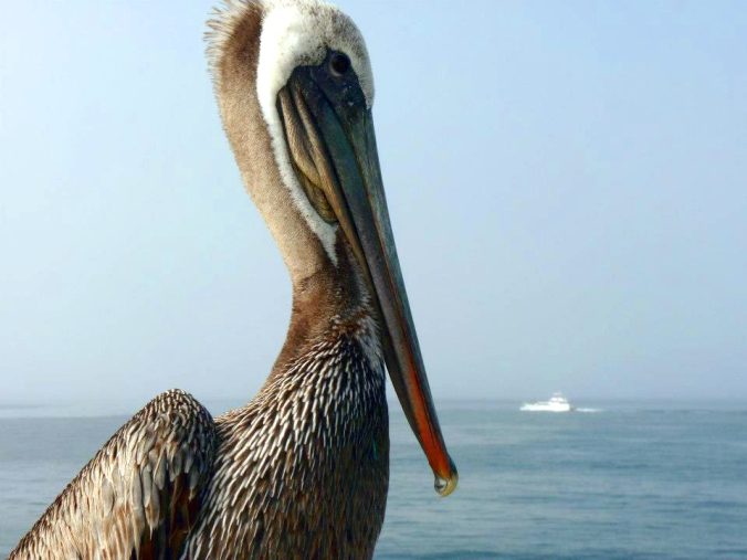 Picture of pelican at Hermosa Beach in California