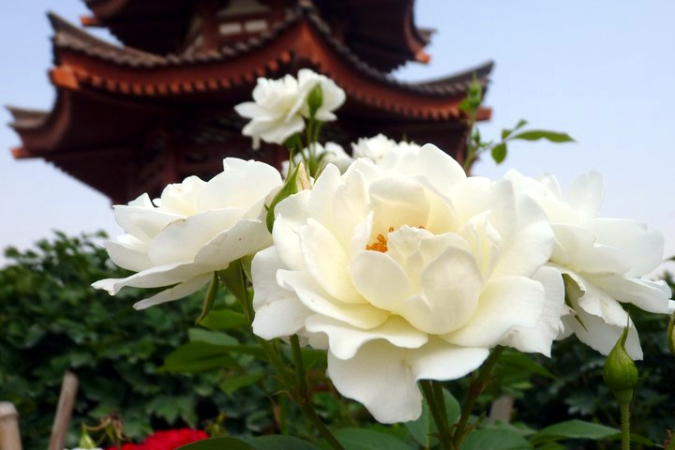 Picture of flower and pagoda at buddhist temple in xian, China