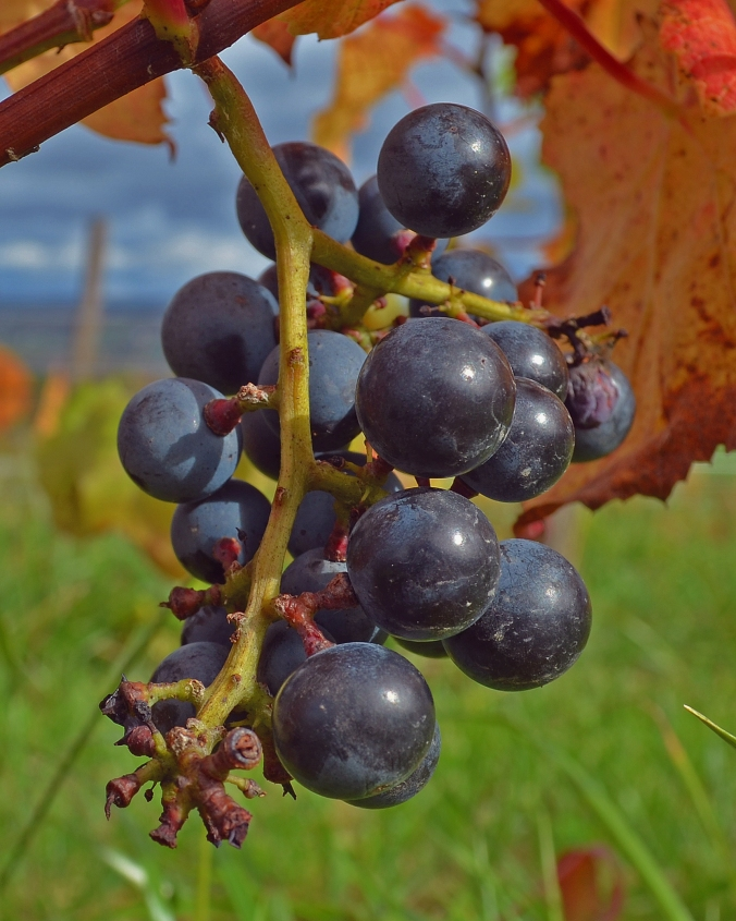 Picture of grapes at a vineyard along Seneca Lake in upstate New York