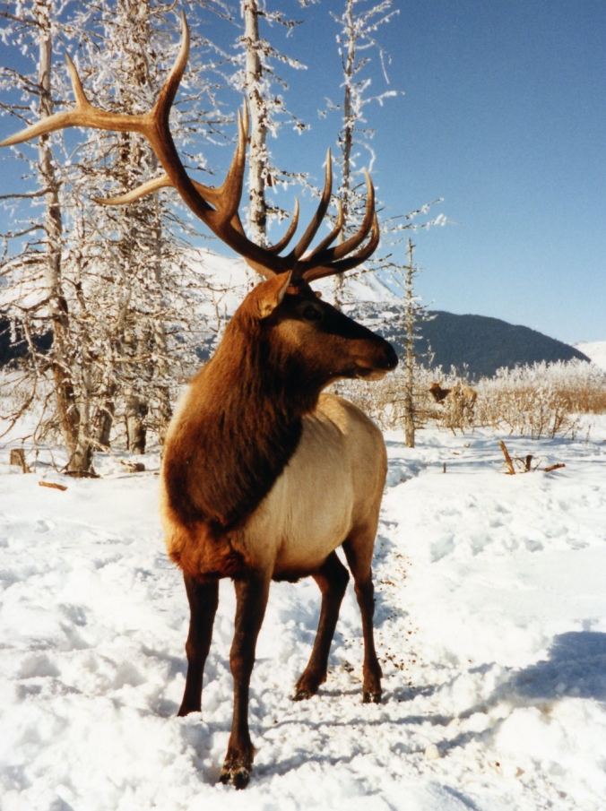 Picture of an elk at Alaska Wildlife Conservation Center