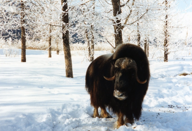 Picture of a musk ox at Alaska Wildlife Conservation Center