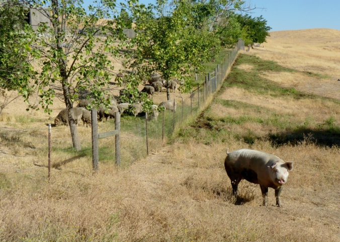 Picture of a pig at Farm Sanctuary in Orland, California