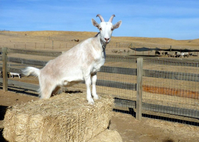 Picture of Scribbles the goat at Farm Sanctuary in Orland, California