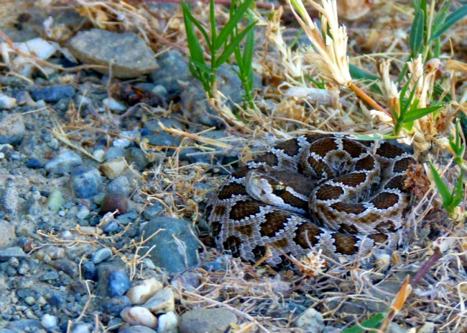 Picture of a baby rattlesnake at Farm Sanctuary in Orland, California