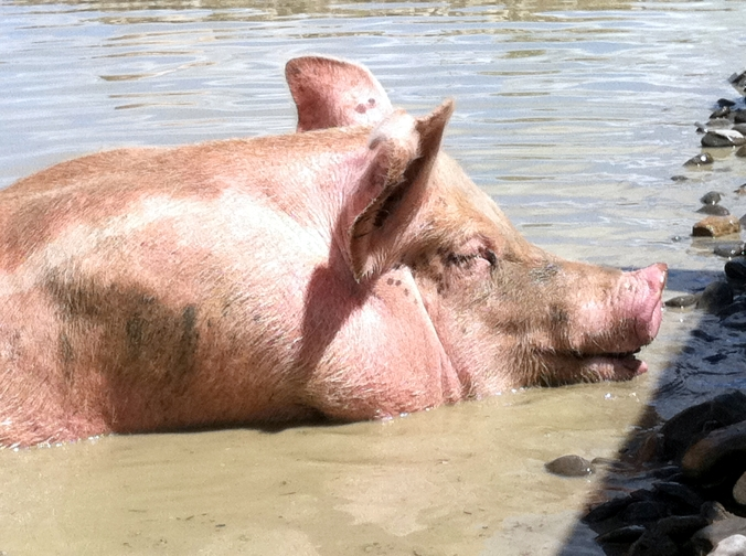 Picture of pig at Farm Sanctuary in upstate New York