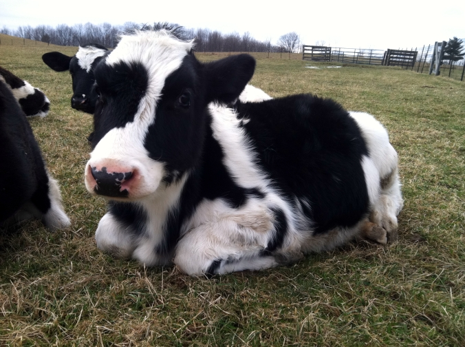 Picture of cow at Farm Sanctuary in upstate New York