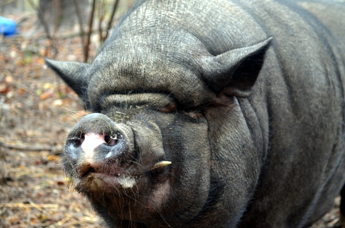 Picture of a content pig at Whispering Rise Farm & Animal Sanctuary in northern Maryland