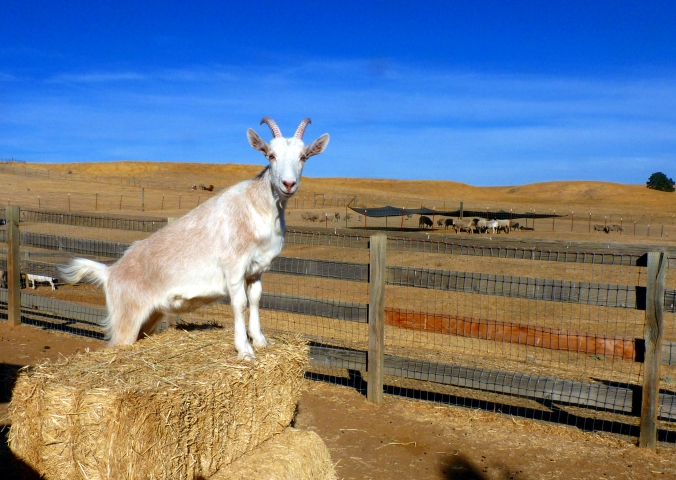Picture of Scribbles the goat at Farm Sanctuary in Orland, California, USA